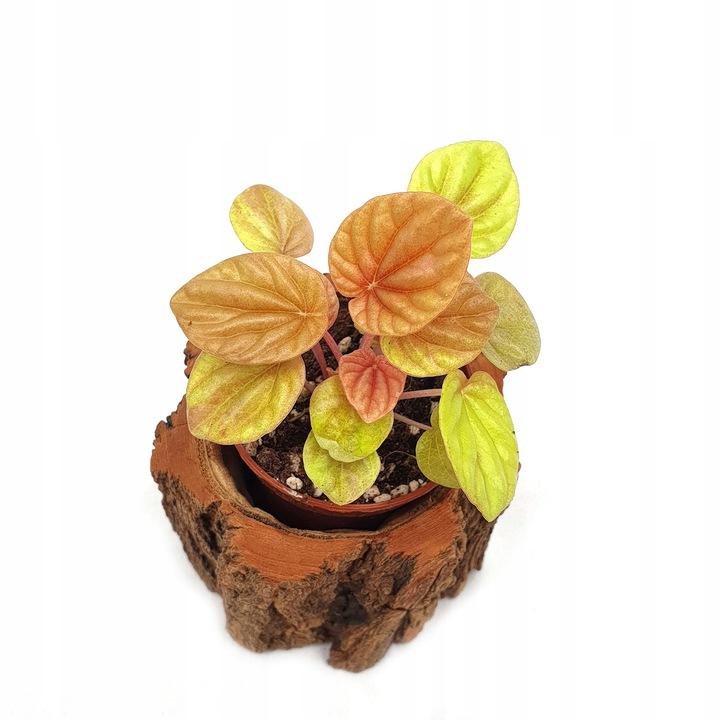 wiwarium Peperomia-caperata-Quito